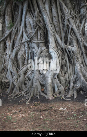 Buddha Head statue trapped in roots of Bodhi Tree at Wat Mahathat. Ayutthaya historical park in Thailand. - Stock Photo