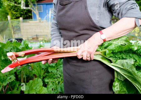 Picking rhubarb - a gardener harvests a handful of red rhubarb stalks with their leaves attached. - Stock Photo