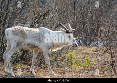 White Reindeer, Rangifer tarandus standing and turning his head towards the camera, Stora sjöfallets national park, Gällivare county, Swedish Lapland, - Stock Photo