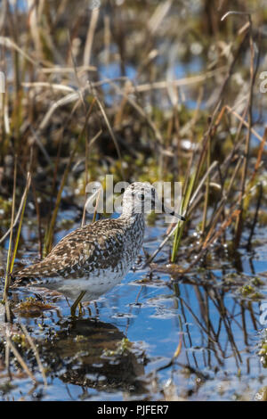 Wood sandpiper, Tringa glareola, walking in a moss looking for food, Gällivare county, Swedish Lapland, Sweden - Stock Photo
