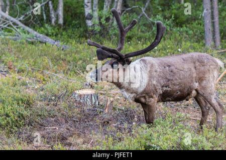 Reindeer, Rangifer tarandus walking in forest, having big antlers, Gällivare county, Swedish Lapland, Sweden - Stock Photo