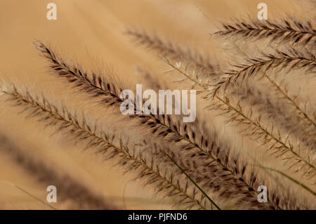 An abstract of dark purple and gold desert grasses blooming on a soft background in Arizona. - Stock Photo