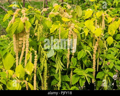 Green fading to yellow flower tassels of Love lies bleeding, a summer bedding annual, Amaranthus caudatus 'Viridis' - Stock Photo