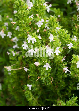 White flowers among the semi evergreen growth of the perennial winter savory herb, Satureja montana - Stock Photo