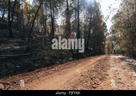 Dirt road between the forest from low angle, with eucalyptus burned by the fire on the sides - Stock Photo