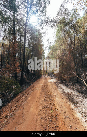 Dirt road between the forest, with eucalyptus burned by the fire on the sides - Stock Photo