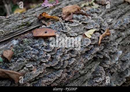 Turkey Tail mushroom coriolus versicolor growing on wood. Saprophytic mushroom used to fight cancer and boost the immune system. Natural super food. - Stock Photo