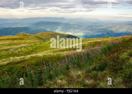 row of purple flowers on the hill. lovely scenery in mountains at sunrise. fire-weed among the grass in overcast weather - Stock Photo