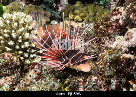An adult clearfin lionfish, Pterois radiata, Tengah Kecil Island,  Komodo National Park, Flores Sea, Indonesia - Stock Photo