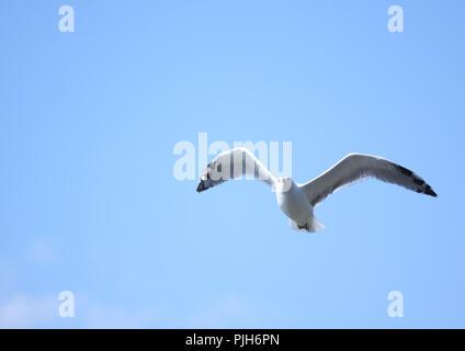 Seagull in flight against blue sky - Stock Photo