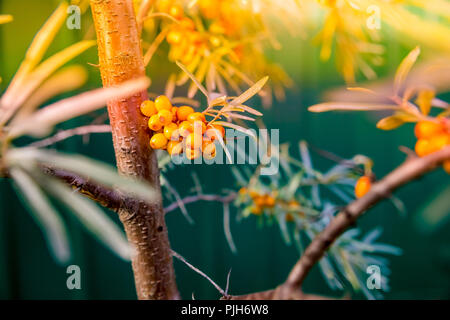 Sea buckthorn bush with yellow berries ,Hippophae rhamnoides, Sandthorn, Sallowthorn or Seaberry.Sea buckthorns oil and fresh ripe berries close up on nature background.berry of an organic sea-buckthorn. - Stock Photo