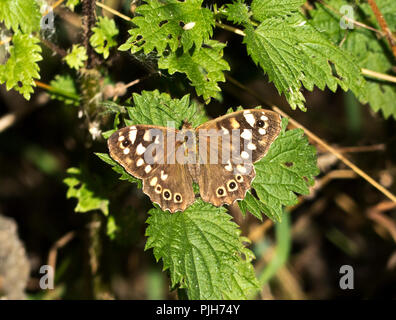 The Speckled Wood is a common butterfly later in the summer and more often found on the fringes of woodlands and thrive in dappled sunlight. - Stock Photo