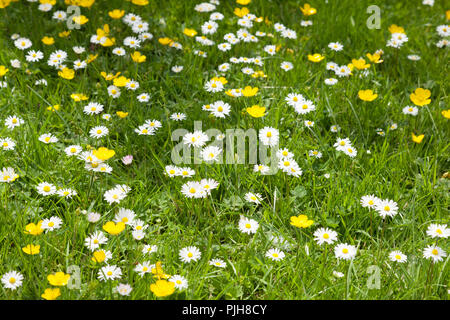 Buttercups and daisies growing in grass. - Stock Photo