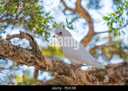 A Little Corella (Cacatua sanguinea) is smaller than its Sulphur Crested Cockatoo cousin and has a blue eye-ring and an adjacent pale pink patch - Stock Photo