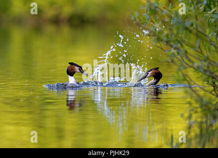 Great Crested Grebes-Podiceps cristatus display courtship. Uk - Stock Photo