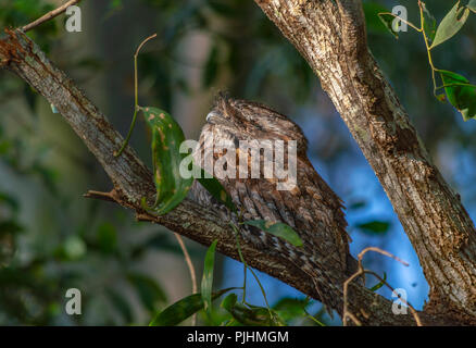 Tawny frogmouth roosting in a tree, Brisbane, Australia - Stock Photo