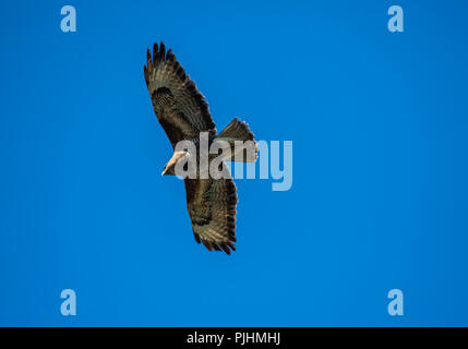 Common buzzard, flying overhead, Alsager, Cheshire, UK - Stock Photo