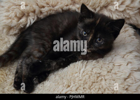 Portrait of Ten Week Old Female Tortoiseshell Kitten Laying on A Fleece - Stock Photo