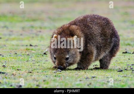 common wombat Vombatus ursinus tasmaniensis, Narawntapu National Park, Tasmania, Australia - Stock Photo