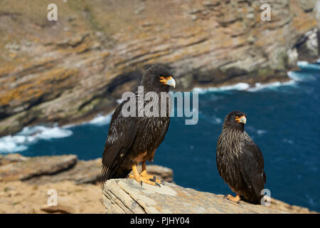 Pair of Striated Caracara (Phalcoboenus australis) standing a rocky cliff on West Point Island in the Falkland Islands. - Stock Photo