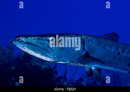 Extreme closeup, Giant Barracuda, Bahamas - Stock Photo
