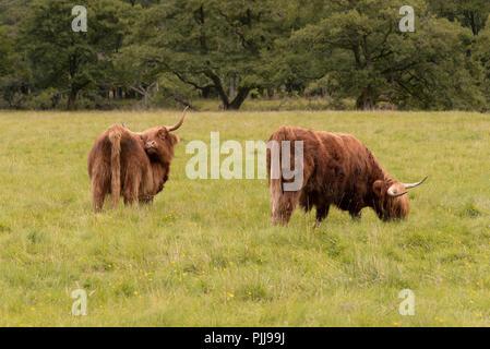 Scottish long coat Highland cattle in Fort William near Ben Nevis, Scotland, UK - Stock Photo