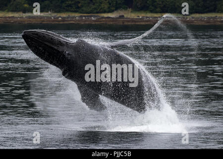 A Humpback whale breaches high into the air in Chatham Strait near Angoon in Southeast Alaska, USA - Stock Photo