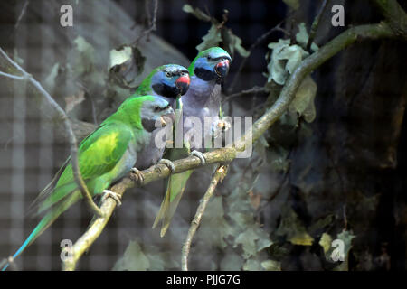 Ostrava, Czech Republic. 07th Sep, 2018. Lord Derby's parakeets (Psittacula derbiana) are seen in the Ostrava Zoo, Czech Republic, on September 7, 2018. Credit: Jaroslav Ozana/CTK Photo/Alamy Live News - Stock Photo