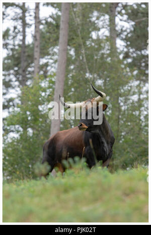 Aurox, Bos taurus primigenius - Stock Photo