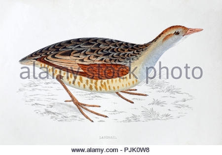 Landrail also called Corncrake (Crex Crex) vintage illustration, from A History of British Birds by Rev. Francis Orpen Morris, published in c1850 - Stock Photo