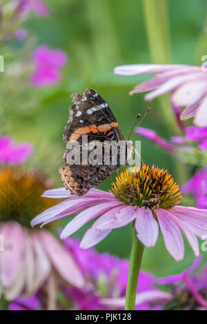 Vanessa atalanta, the red admiral or previously, the red admirable,, medium-sized butterfly - Stock Photo