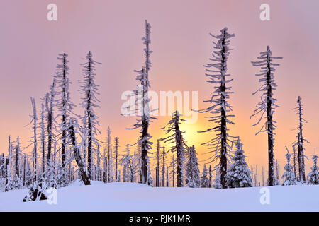 Sunset on the mountain Great Rachel in winter, spruce covered with snow and dead by bark beetle infestation, Bavarian Forest nature park, Bavaria, Germany - Stock Photo