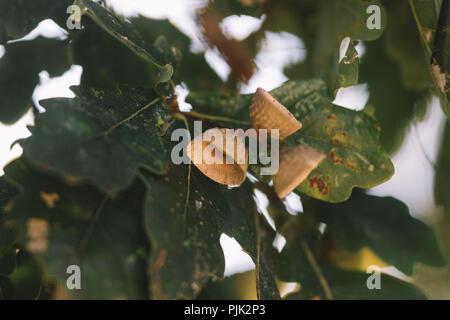 Acorns in autumn, - Stock Photo