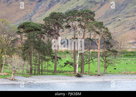A row of trees along the lake side with sheep on lush green grass, England - Stock Photo