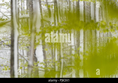 Fresh green of a beech forest in the last snow of spring - Stock Photo