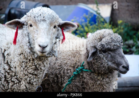 Face of a sheep on a farm looking at the camera - Stock Photo