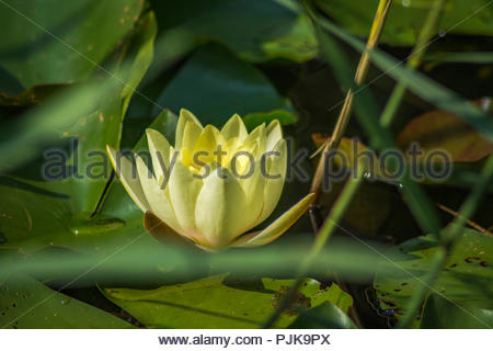 A single water lilly - Stock Photo