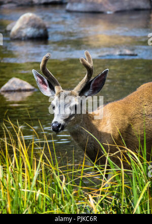 Young Mule Deer Buck Drinking in the Tuolumne River, Off Tioga Road - Yosemite National Park Wildlife - Stock Photo