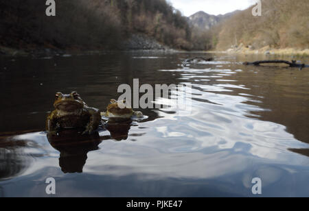 Two toads (Bufo bufo) during mating season in a lake. Roccapietra (VC) - Stock Photo