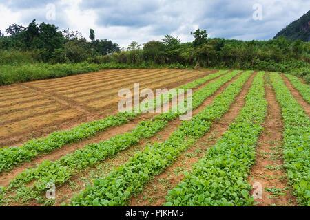 Cuba, Vinales Valley / Valle de Vinales, small tobacco plants - Stock Photo
