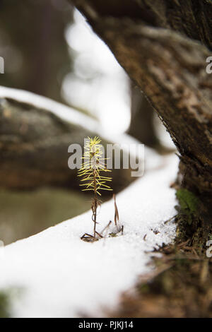 small sapling of a conifer in winter - Stock Photo
