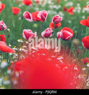 Red and pink poppy flowers in a flower field, in between there is also chamomile, - Stock Photo