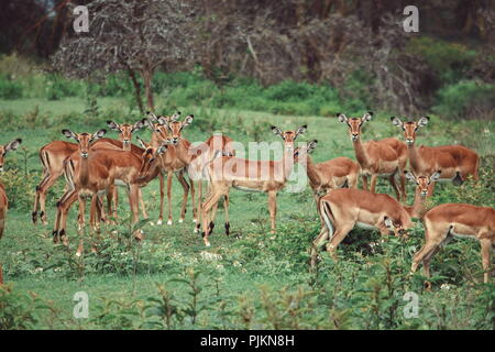 Impala Antelopes at Lake Nakuru, Rift Valley, Kenya - Stock Photo
