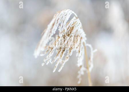 Common reed (Phragmites australis) frozen in winter, - Stock Photo