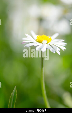Daisies in the summer meadow, - Stock Photo