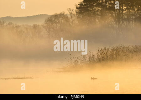 Germany, Brandenburg, Uckermark, Criewen, National Park Lower Oder Valley, morning mood with fog in the riparian forests near Criewen, pair of ducks - Stock Photo