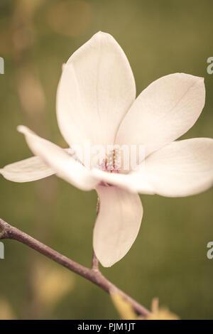 Close-up of a single magnolia blossom (Magnolia), - Stock Photo