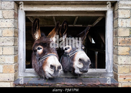 Two donkeys in a barn at Wheelbirks Parlour, Stocksfield, England. - Stock Photo