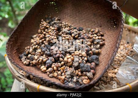 fermented Luwak coffee beans from  Asian palm civet (Paradoxurus hermaphroditus) on coffee plantation, Ubud, Bali, Indonesia - Stock Photo