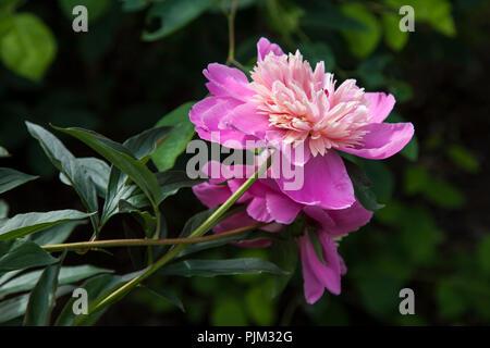 Flowering peonies, close-up - Stock Photo